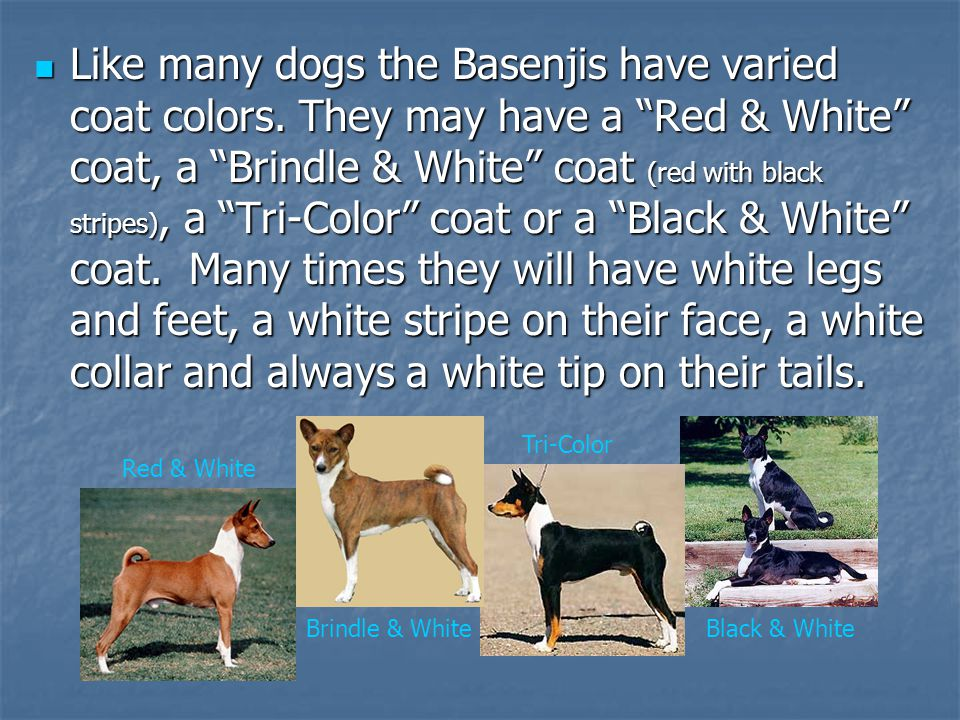 Like many dogs the Basenjis have varied coat colors.