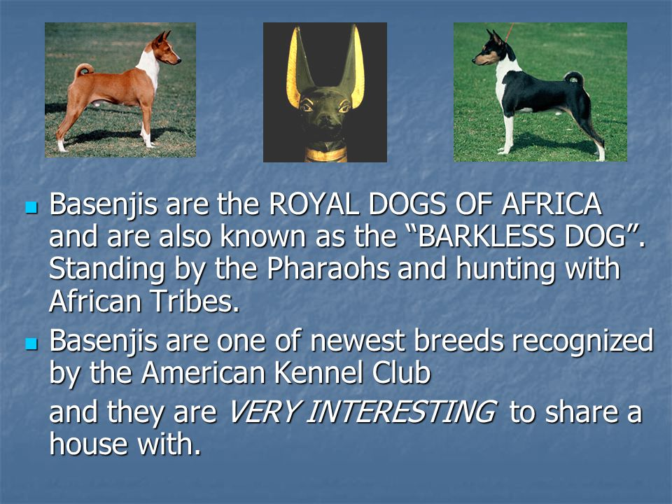 Basenjis are the ROYAL DOGS OF AFRICA and are also known as the BARKLESS DOG .