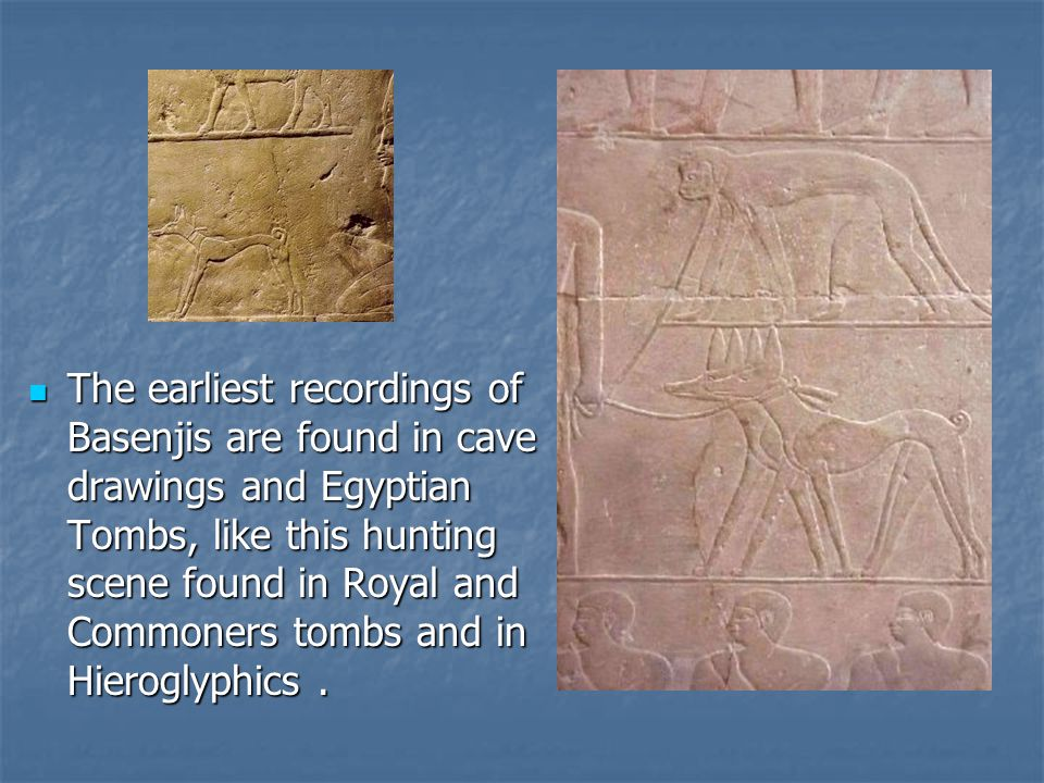 The earliest recordings of Basenjis are found in cave drawings and Egyptian Tombs, like this hunting scene found in Royal and Commoners tombs and in Hieroglyphics.