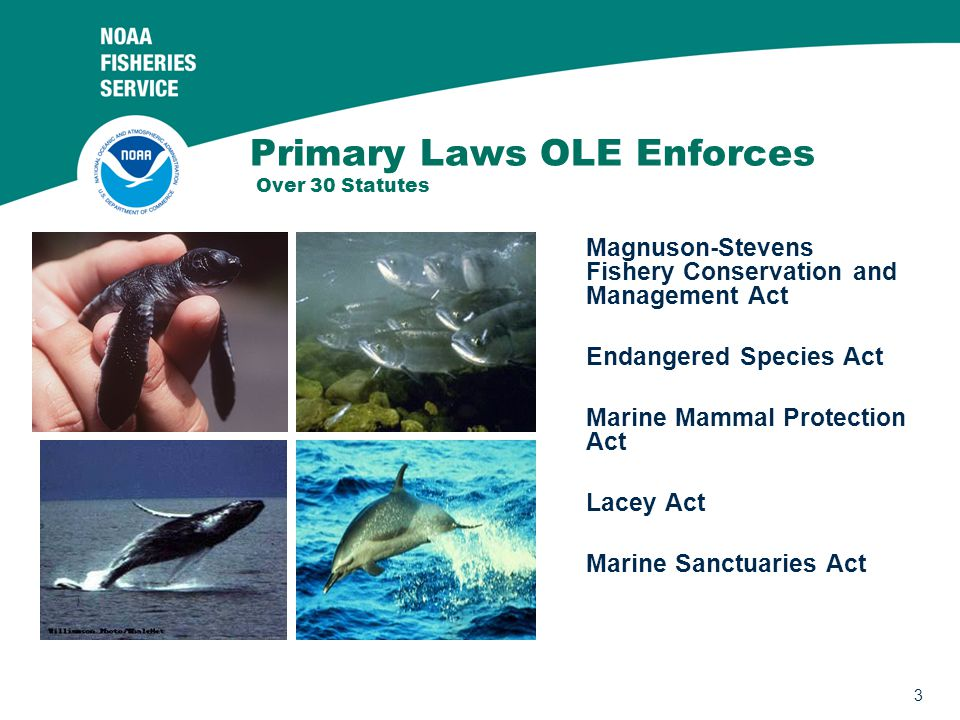 3 Primary Laws OLE Enforces Over 30 Statutes Magnuson-Stevens Fishery Conservation and Management Act Endangered Species Act Marine Mammal Protection Act Lacey Act Marine Sanctuaries Act