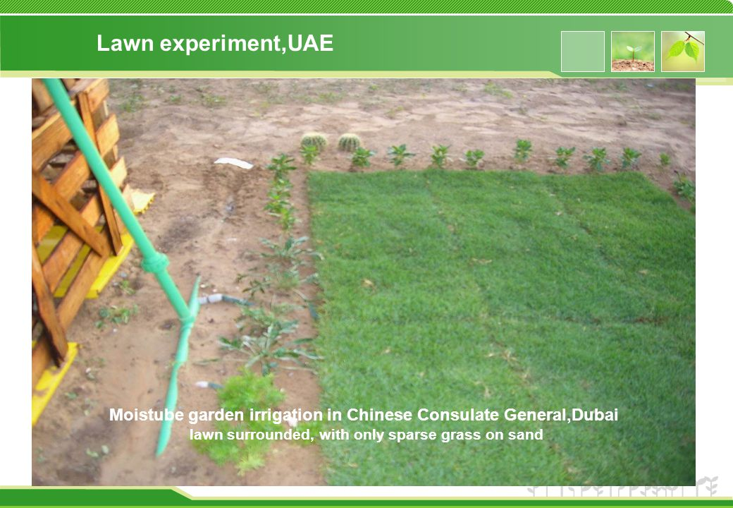 Lawn experiment,UAE Moistube garden irrigation in Chinese Consulate General,Dubai lawn surrounded, with only sparse grass on sand