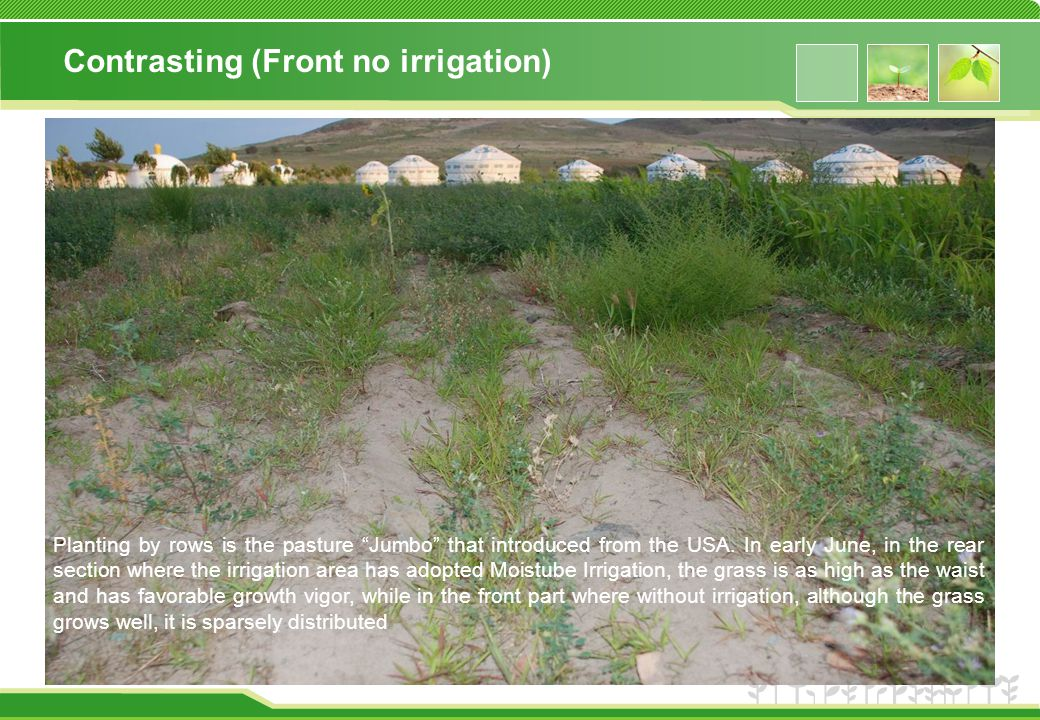 Contrasting (Front no irrigation) Planting by rows is the pasture Jumbo that introduced from the USA.