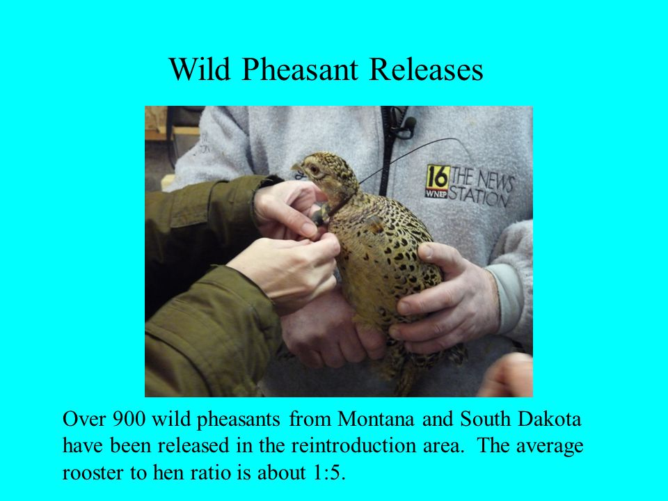 Wild Pheasant Releases Over 900 wild pheasants from Montana and South Dakota have been released in the reintroduction area. The average rooster to hen