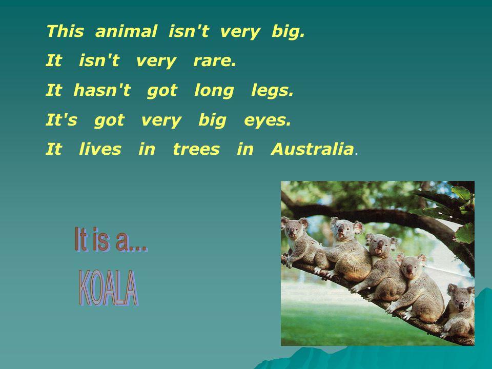 This animal isn't very big. It isn't very rare. It hasn't got long legs. It's got very big eyes. It lives in trees in Australia.