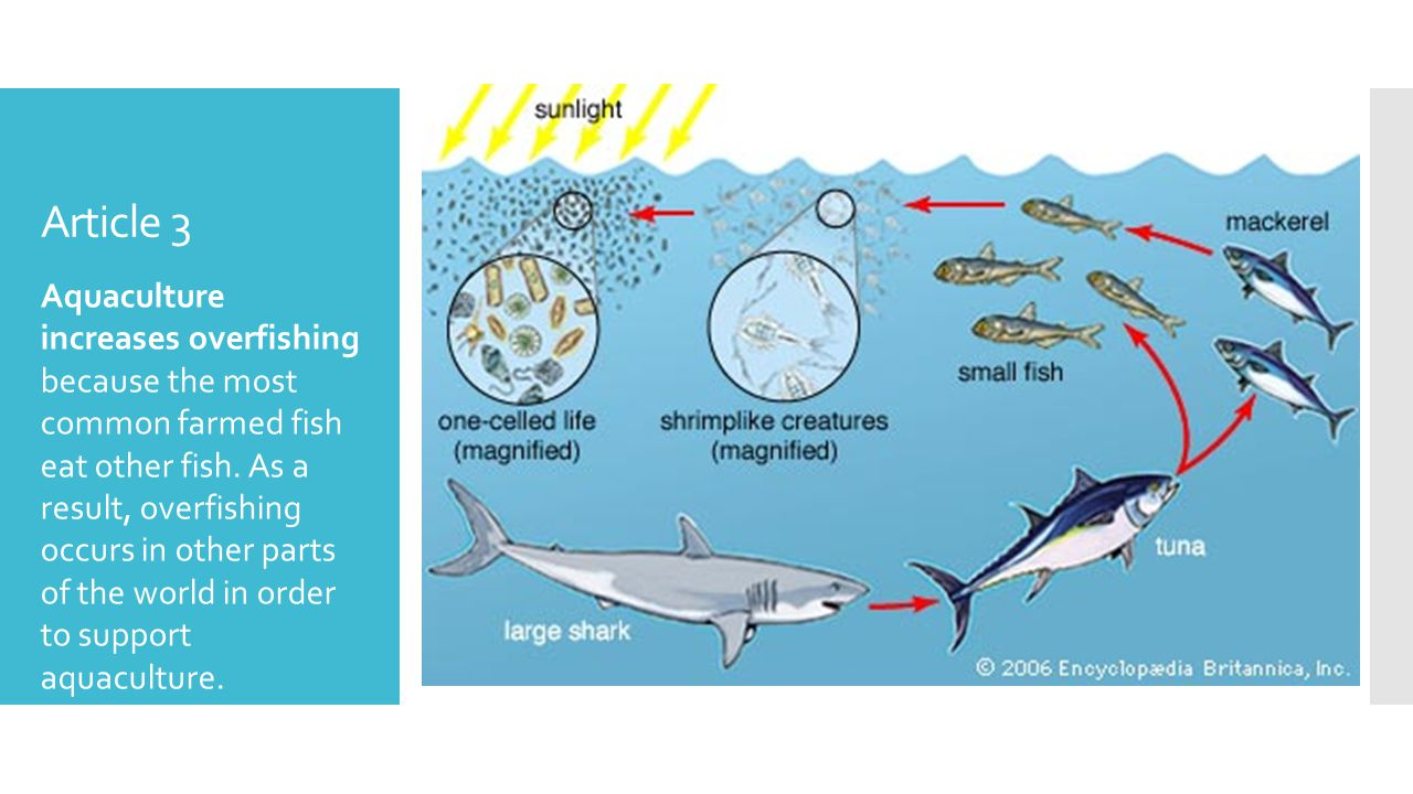 Article 3 Aquaculture increases overfishing because the most common farmed fish eat other fish.