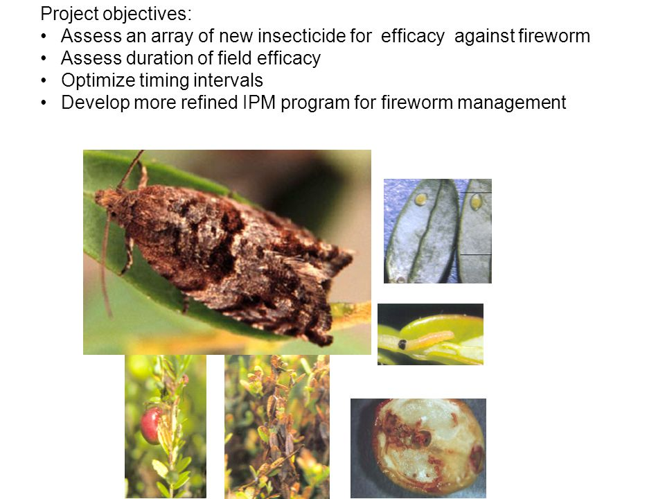 Project objectives: Assess an array of new insecticide for efficacy against fireworm Assess duration of field efficacy Optimize timing intervals Develop more refined IPM program for fireworm management