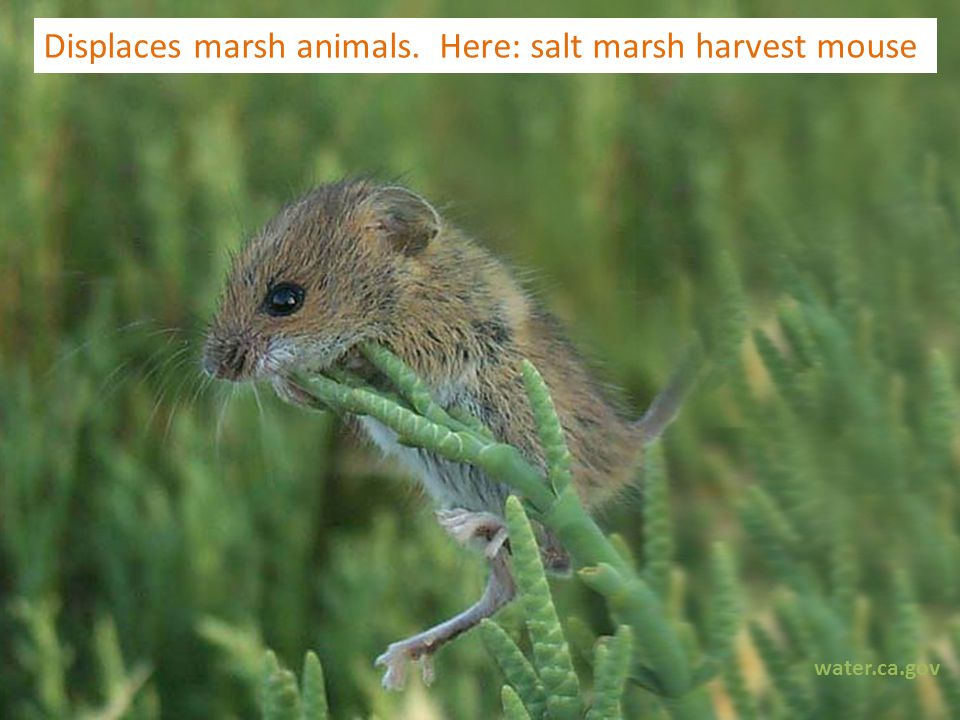 water.ca.gov Displaces marsh animals. Here: salt marsh harvest mouse