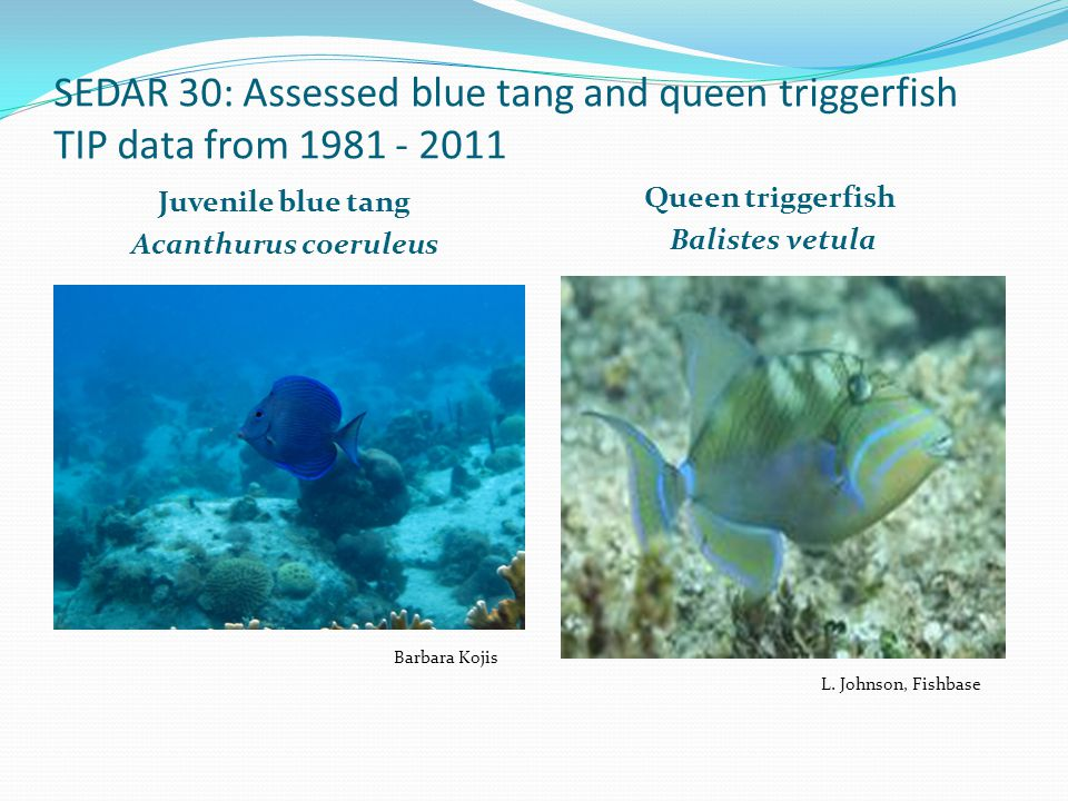 SEDAR 30: Assessed blue tang and queen triggerfish TIP data from 1981 - 2011 Juvenile blue tang Acanthurus coeruleus Queen triggerfish Balistes vetula L.