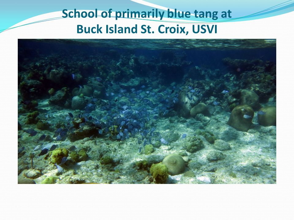 School of primarily blue tang at Buck Island St. Croix, USVI
