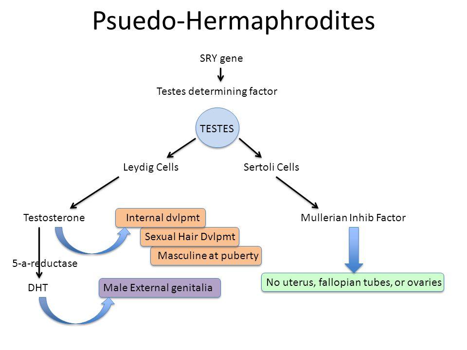 Psuedo-Hermaphrodites SRY gene Sertoli Cells Mullerian Inhib Factor Testes determining factor TESTES DHT Testosterone Leydig Cells Internal dvlpmt Male External genitalia 5-a-reductase No uterus, fallopian tubes, or ovaries Sexual Hair Dvlpmt Masculine at puberty