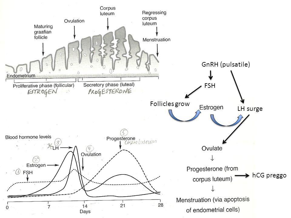 GnRH (pulsatile) FSH LH surge Follicles grow hCG preggo