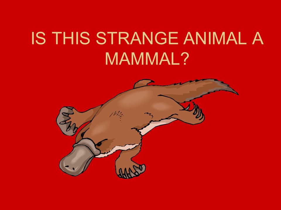 IS THIS STRANGE ANIMAL A MAMMAL
