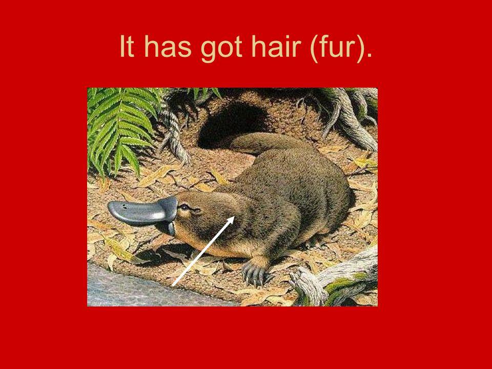 It has got hair (fur).