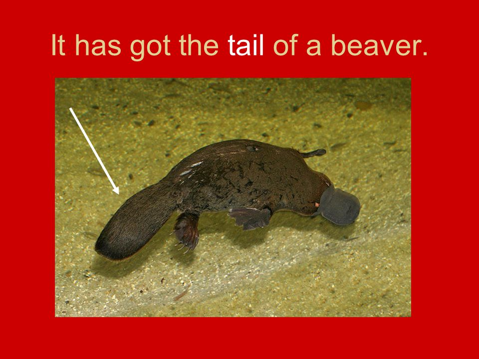 It has got the tail of a beaver.