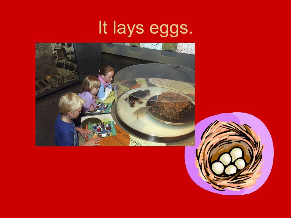 It lays eggs.