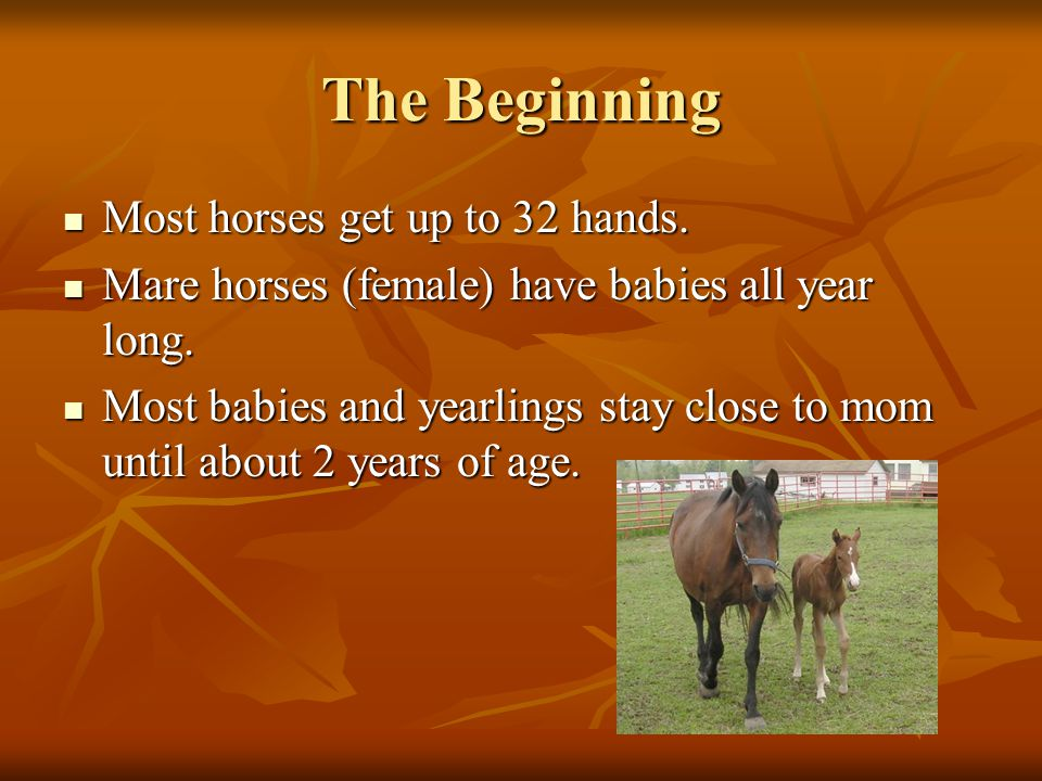 The Beginning Most horses get up to 32 hands. Most horses get up to 32 hands.