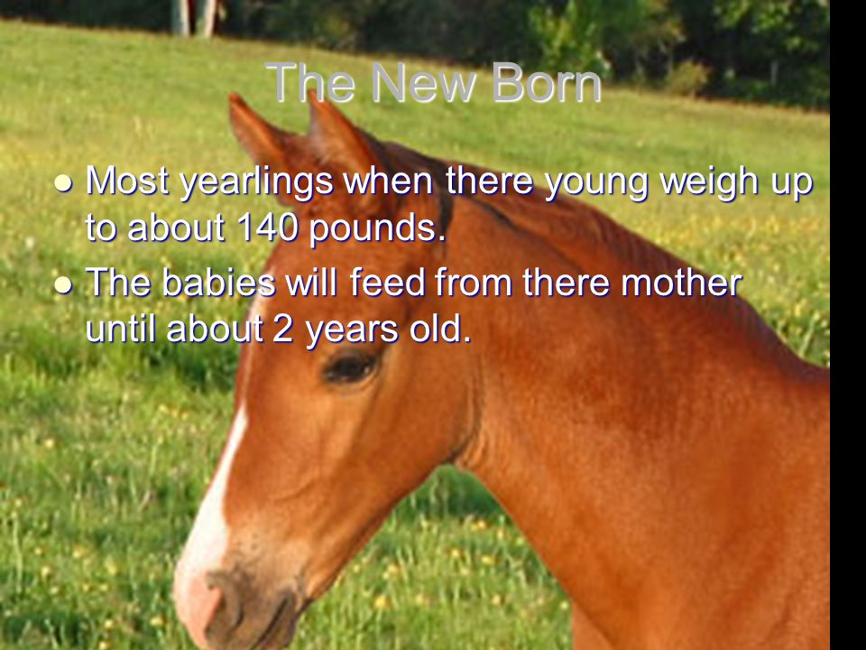 The New Born Most yearlings when there young weigh up to about 140 pounds.