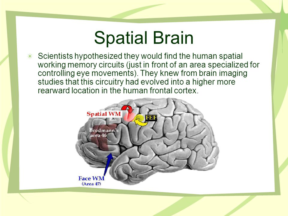 Spatial Brain Scientists hypothesized they would find the human spatial working memory circuits (just in front of an area specialized for controlling eye movements).