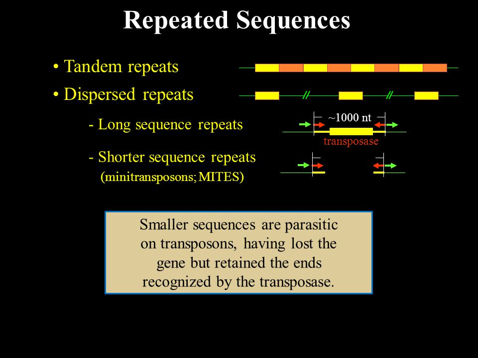 Repeated Sequences Tandem repeats Dispersed repeats - Long sequence repeats transposase ~1000 nt - Shorter sequence repeats transposase ~1000 nt (minitransposons; MITES) Smaller sequences are parasitic on transposons, having lost the gene but retained the ends recognized by the transposase.