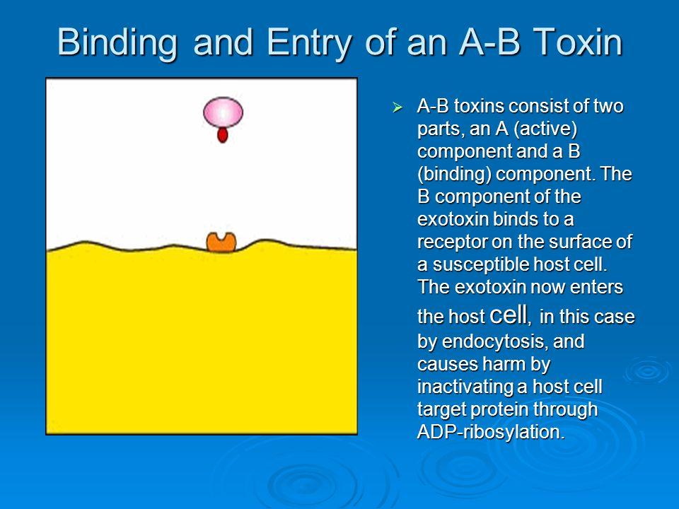  Based on structure A-B prototype A-B prototype Botulinum toxin, diphtheria toxin, shiga toxin, tetanus toxinBotulinum toxin, diphtheria toxin, shiga toxin, tetanus toxin Membrane disrupting toxin Membrane disrupting toxin Lacks A & BLacks A & B Pore formingPore forming PhospholipasePhospholipase Superantigens Superantigens Virulence Factors that Promote Damage to the Host: EXOTOXINS