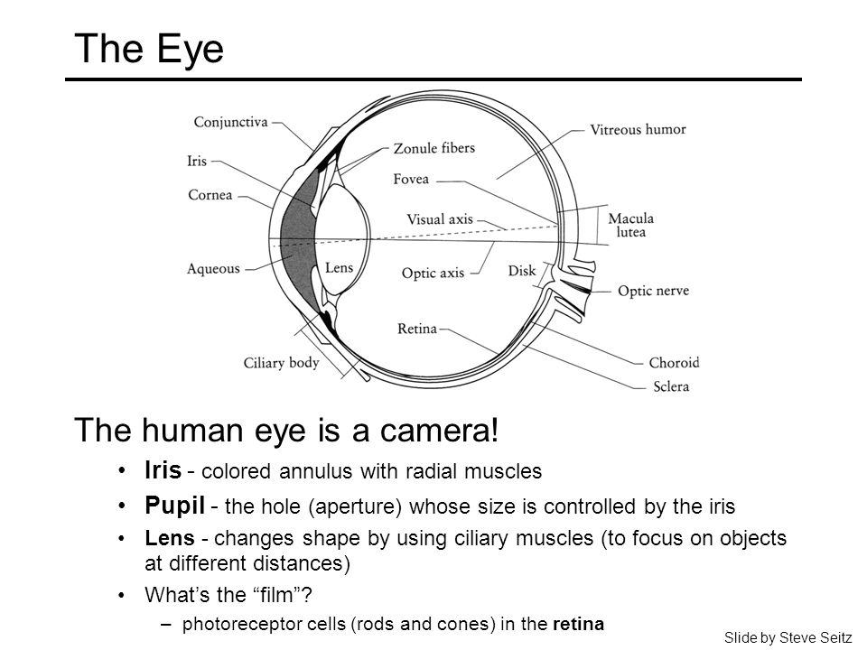 The Eye The human eye is a camera! Iris - colored annulus with radial muscles Pupil - the hole (aperture) whose size is controlled by the iris Lens -