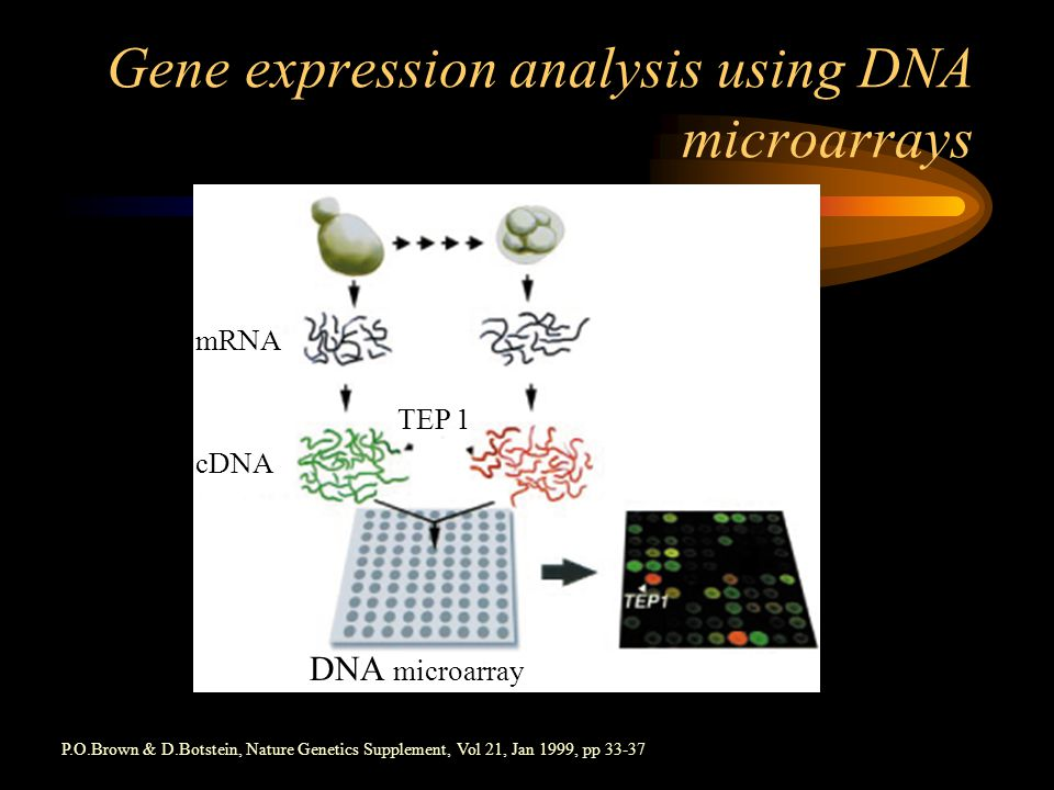 Gene expression analysis using DNA microarrays DNA microarray TEP 1 cDNA mRNA P.O.Brown & D.Botstein, Nature Genetics Supplement, Vol 21, Jan 1999, pp 33-37