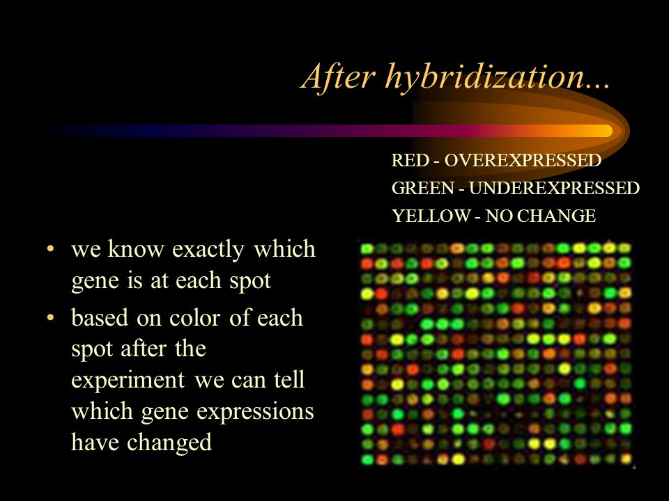we know exactly which gene is at each spot based on color of each spot after the experiment we can tell which gene expressions have changed After hybridization...