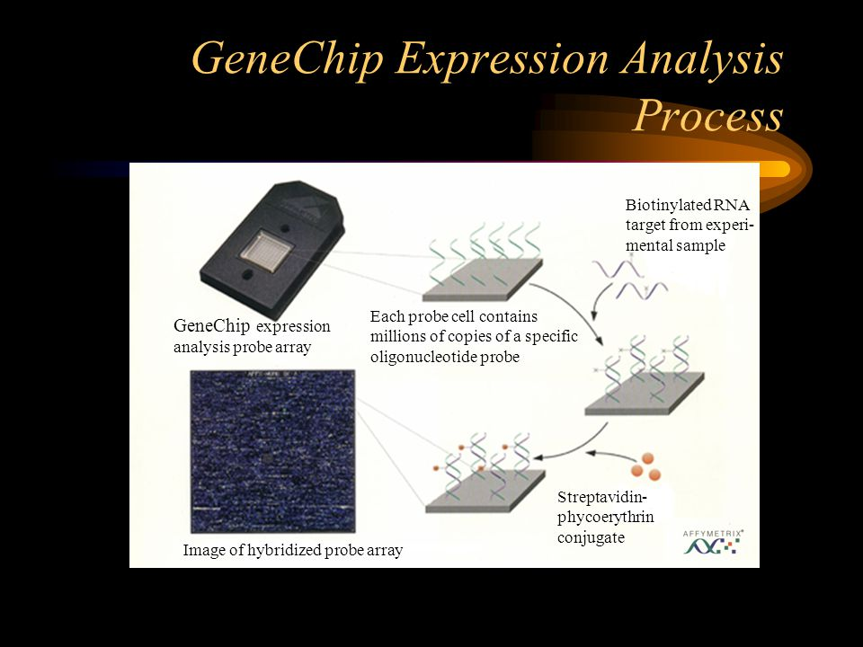 GeneChip Expression Analysis Process GeneChip expression analysis probe array Each probe cell contains millions of copies of a specific oligonucleotid