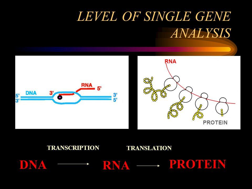 LEVEL OF SINGLE GENE ANALYSIS DNA RNA PROTEIN RNA PROTEIN TRANSCRIPTION TRANSLATION