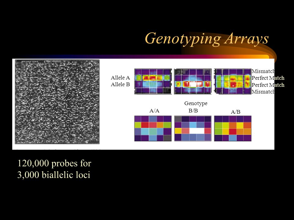Genotyping Arrays 120,000 probes for 3,000 biallelic loci Allele A Allele B Mismatch Perfect Match Mismatch Genotype A/AB/B A/B