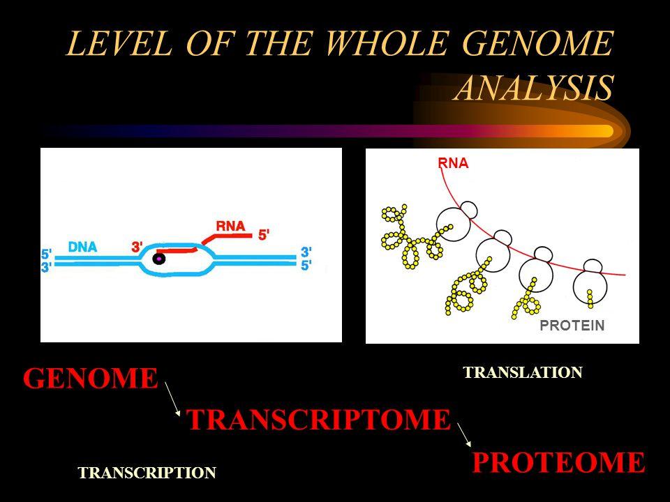 LEVEL OF THE WHOLE GENOME ANALYSIS GENOME RNA PROTEIN TRANSCRIPTOME PROTEOME TRANSCRIPTION TRANSLATION