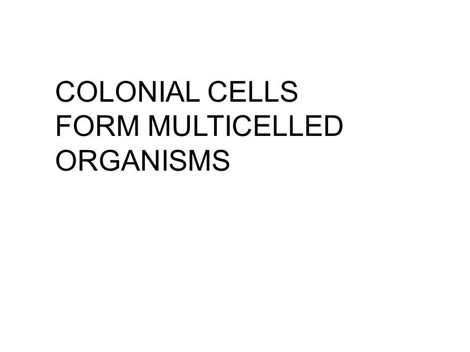 COLONIAL CELLS FORM MULTICELLED ORGANISMS