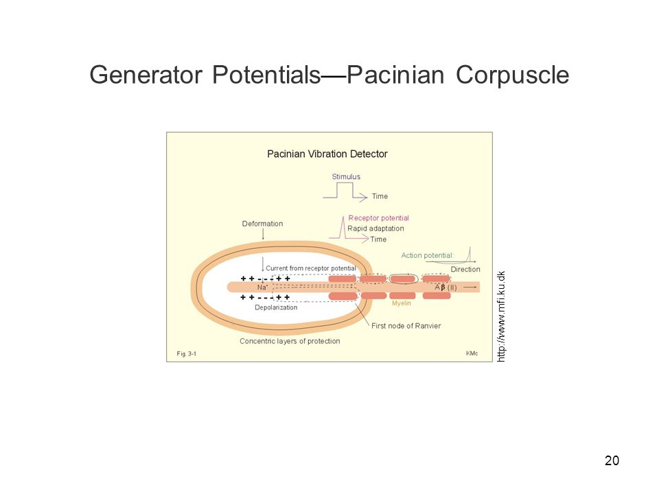 20 Generator Potentials—Pacinian Corpuscle http://www.mfi.ku.dk