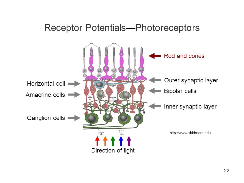 22 http://www.skidmore.edu Rod and cones Horizontal cell Bipolar cells Direction of light Ganglion cells Amacrine cells Outer synaptic layer Inner syn