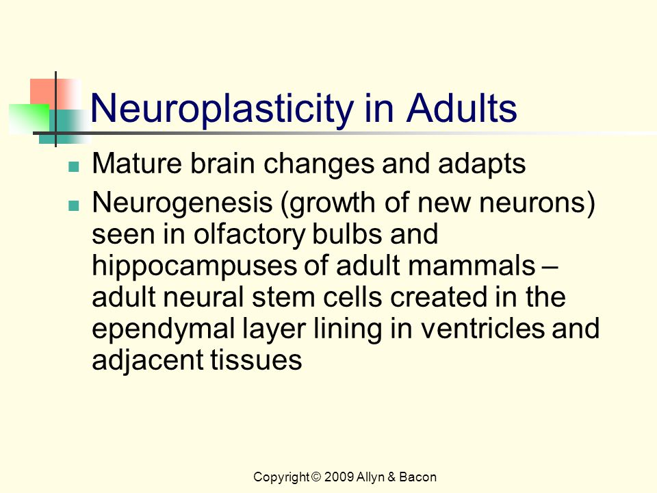 Copyright © 2009 Allyn & Bacon Neuroplasticity in Adults Mature brain changes and adapts Neurogenesis (growth of new neurons) seen in olfactory bulbs and hippocampuses of adult mammals – adult neural stem cells created in the ependymal layer lining in ventricles and adjacent tissues