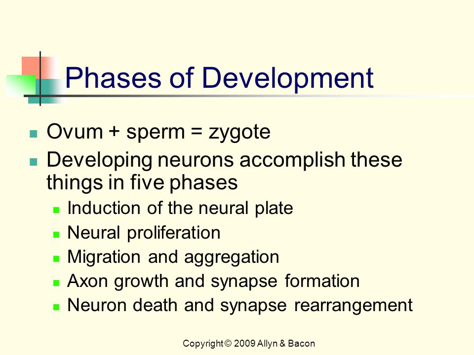 Copyright © 2009 Allyn & Bacon Phases of Development Ovum + sperm = zygote Developing neurons accomplish these things in five phases Induction of the neural plate Neural proliferation Migration and aggregation Axon growth and synapse formation Neuron death and synapse rearrangement