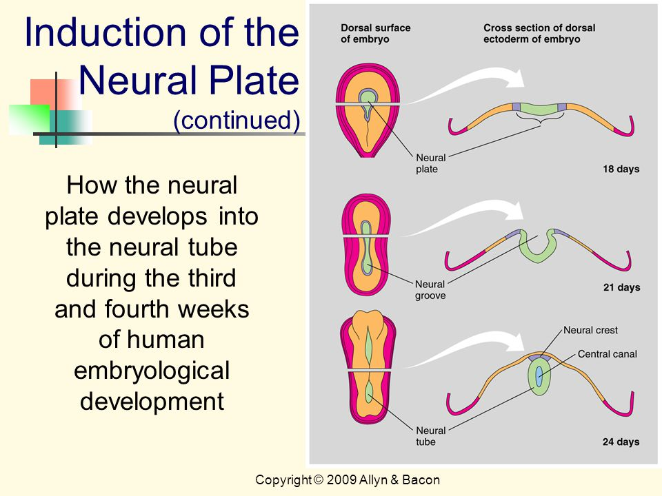 Copyright © 2009 Allyn & Bacon How the neural plate develops into the neural tube during the third and fourth weeks of human embryological development Induction of the Neural Plate (continued)