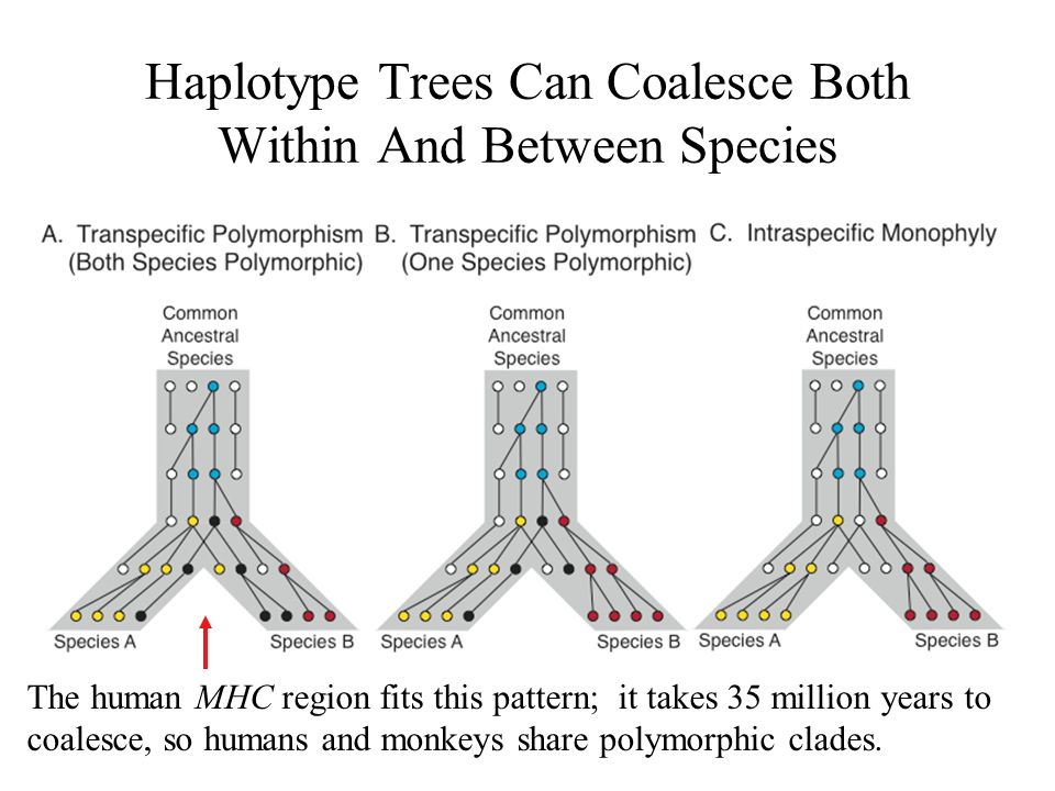 Haplotype Trees Can Coalesce Both Within And Between Species The human MHC region fits this pattern; it takes 35 million years to coalesce, so humans