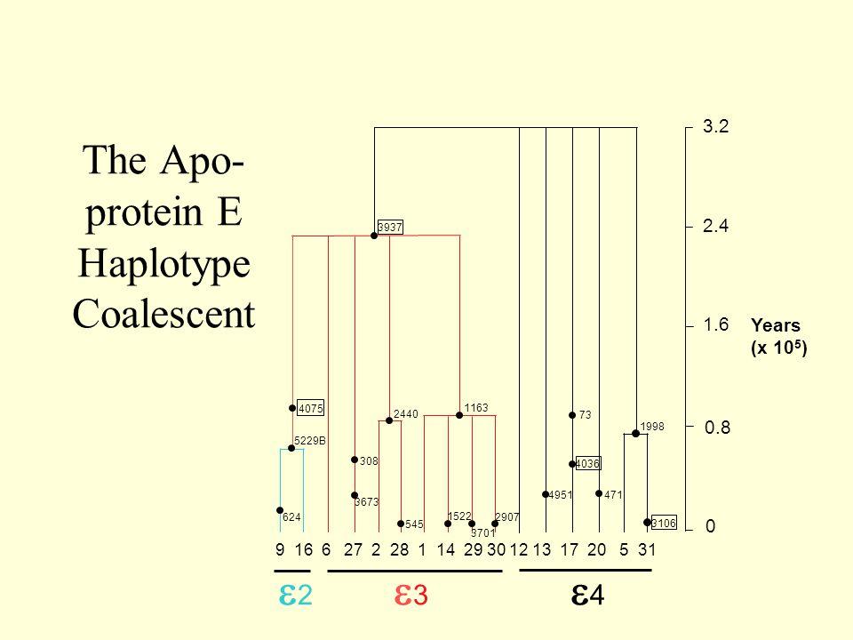 The Apo- protein E Haplotype Coalescent 3937 4075 5229B 624 308 3673 545 2440 1163 1522 3701 2907 471 4951 73 3106 4036 1998 3.2 2.4 1.6 0.8 0 Years (x 10 5 ) 9 16 6 27 2 28 1 14 29 30 12 13 17 20 5 31 22 33 44