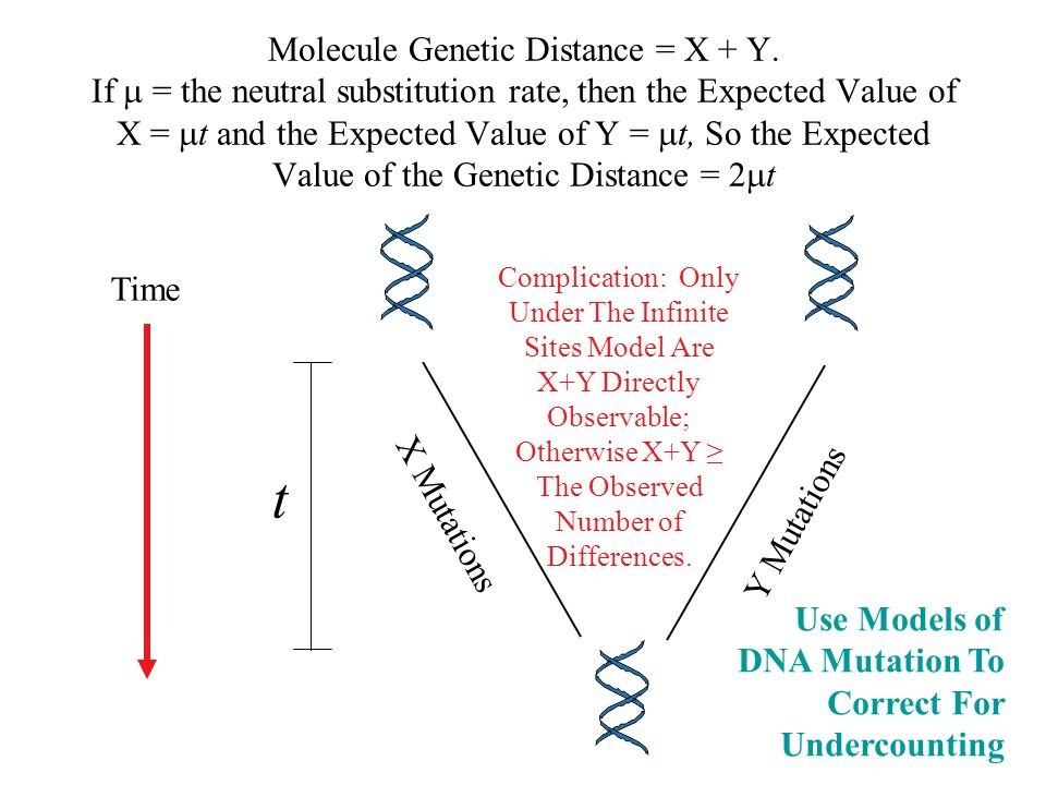 Molecule Genetic Distance = X + Y. If  = the neutral substitution rate, then the Expected Value of X =  t and the Expected Value of Y =  t, So the