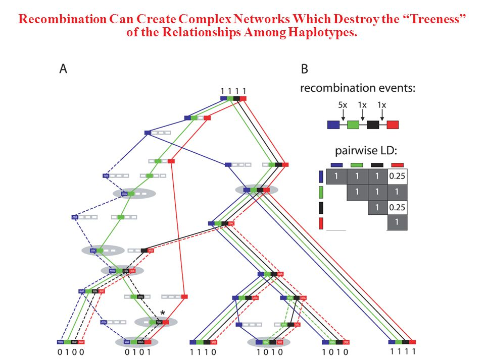 Recombination Can Create Complex Networks Which Destroy the Treeness of the Relationships Among Haplotypes.