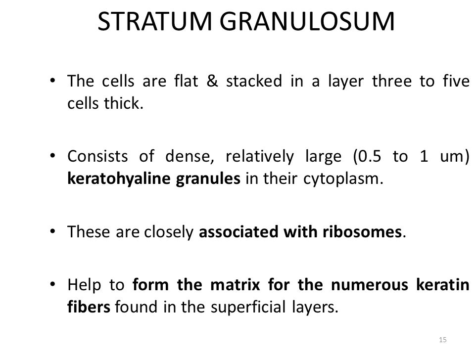 STRATUM GRANULOSUM The cells are flat & stacked in a layer three to five cells thick. Consists of dense, relatively large (0.5 to 1 um) keratohyaline