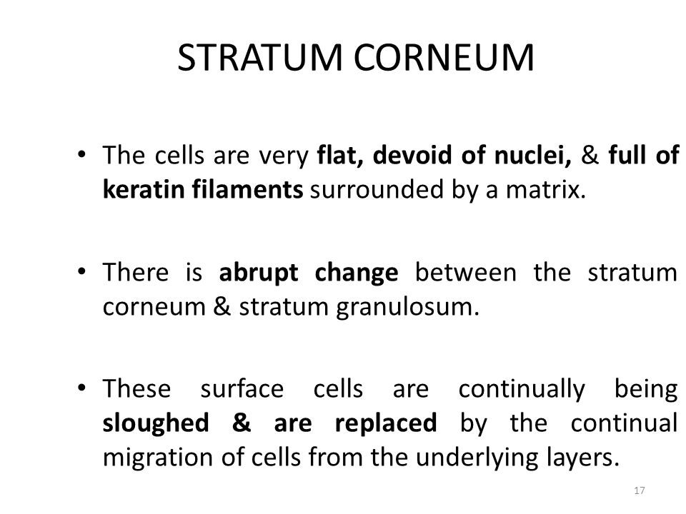 STRATUM CORNEUM The cells are very flat, devoid of nuclei, & full of keratin filaments surrounded by a matrix. There is abrupt change between the stra