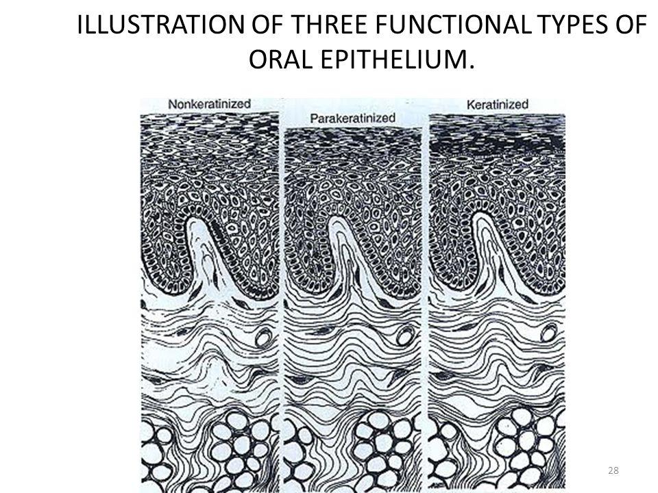 ILLUSTRATION OF THREE FUNCTIONAL TYPES OF ORAL EPITHELIUM. 28