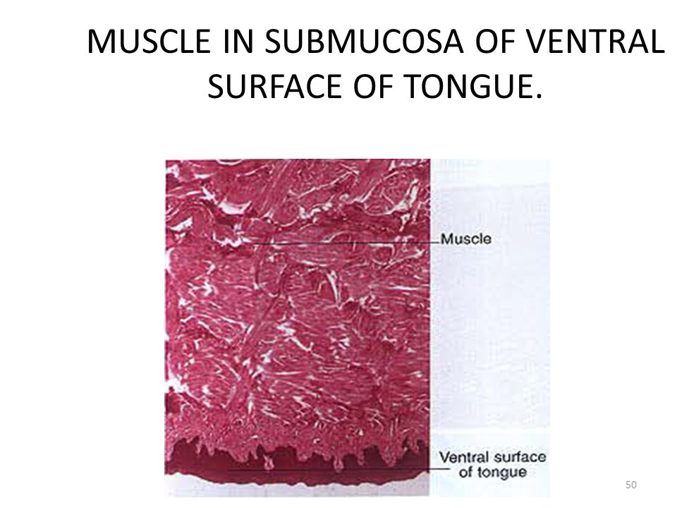 MUSCLE IN SUBMUCOSA OF VENTRAL SURFACE OF TONGUE. 50