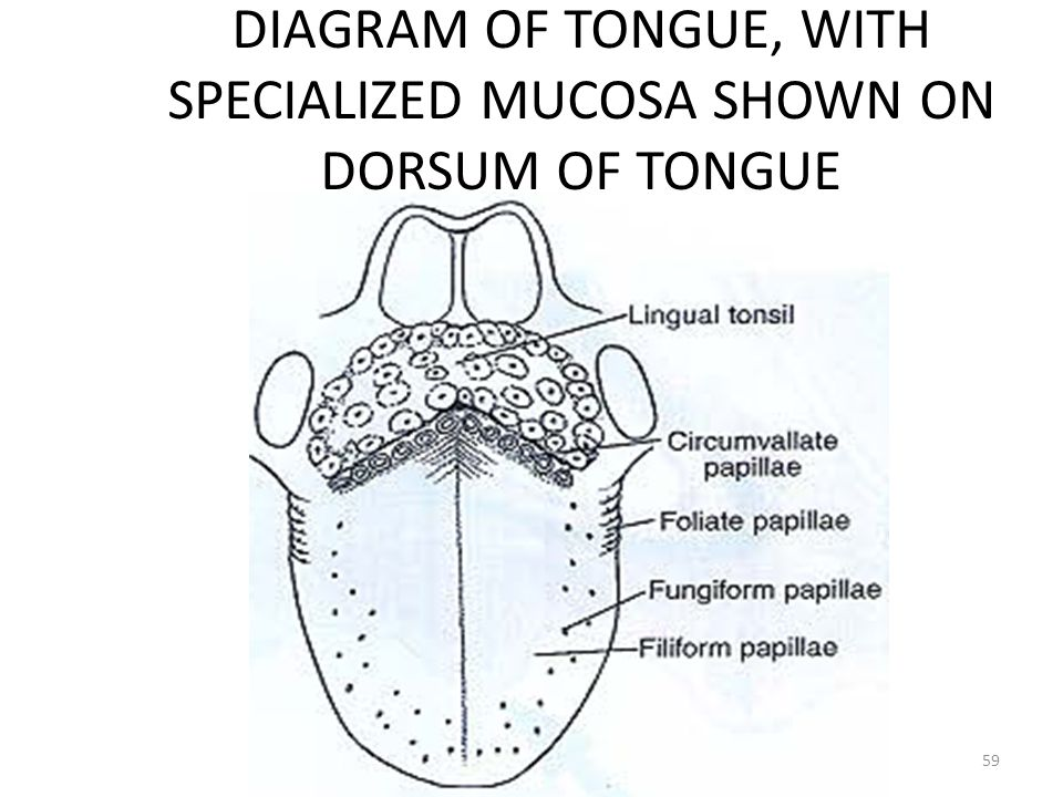 DIAGRAM OF TONGUE, WITH SPECIALIZED MUCOSA SHOWN ON DORSUM OF TONGUE 59