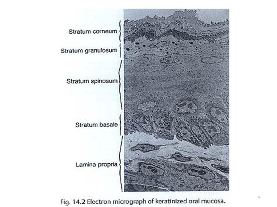 ULTRASTRUCTURE OF STRATUM CORNEUM 20
