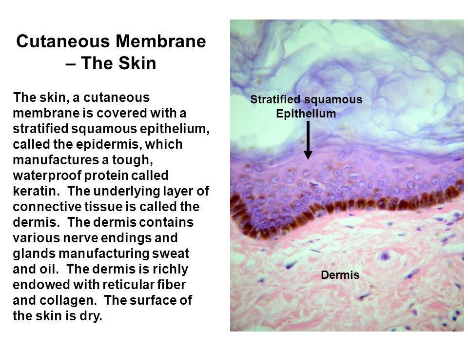 Cutaneous Membrane – The Skin The skin, a cutaneous membrane is covered with a stratified squamous epithelium, called the epidermis, which manufactures a tough, waterproof protein called keratin.