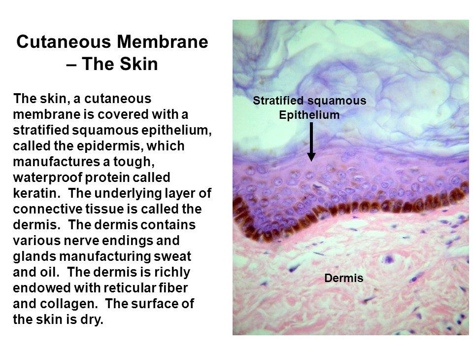 Connective Tissue Membranes Connective tissue membranes contain only connective tissue.