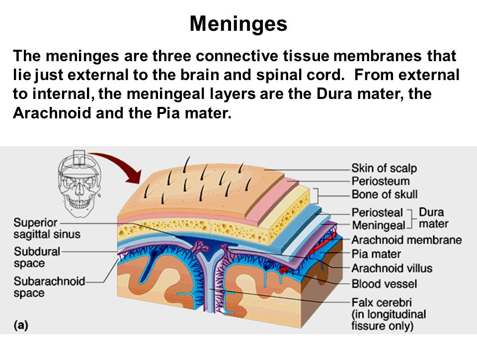 Meninges The meninges are three connective tissue membranes that lie just external to the brain and spinal cord.